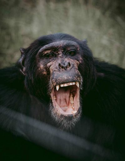 Monkey-with-open-mouth,-Ol-pajeta,-nanyuki-,-Kenya