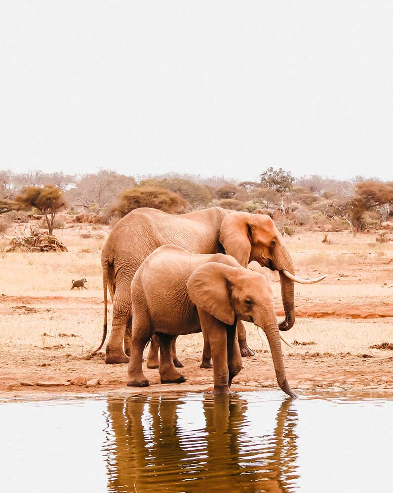 Two elephants drinking water in Tsavo, Kenya