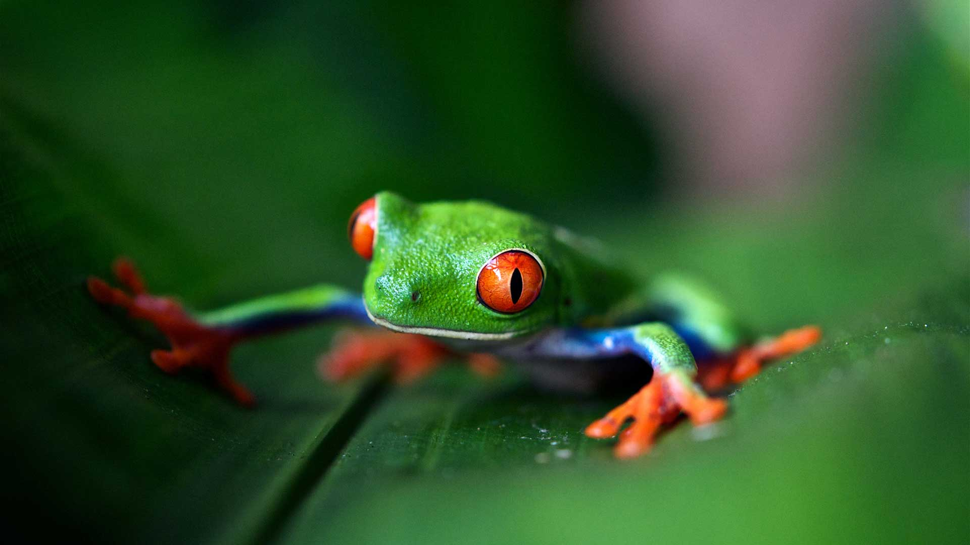 A green frog on a leaf in Costa Rica