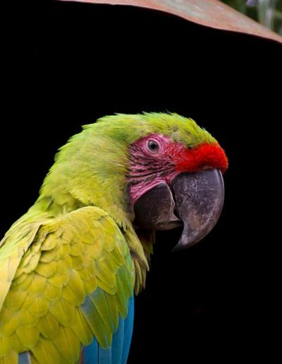 Colourful parrot in Nicaragua